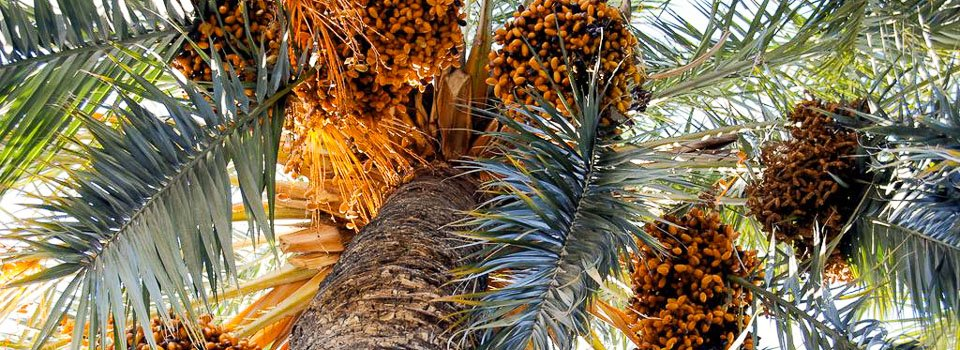 palm-tree-fruits