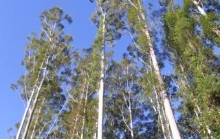 tall-straight-trees