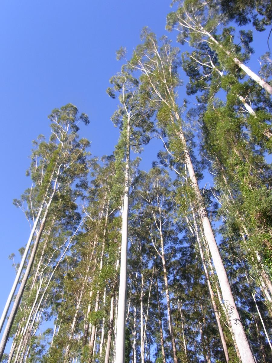 tall-straight-trees