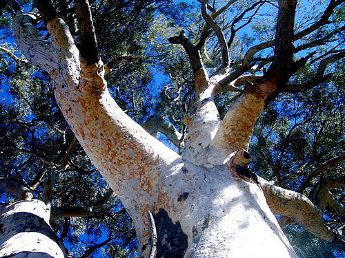 widow-maker-gum-tree