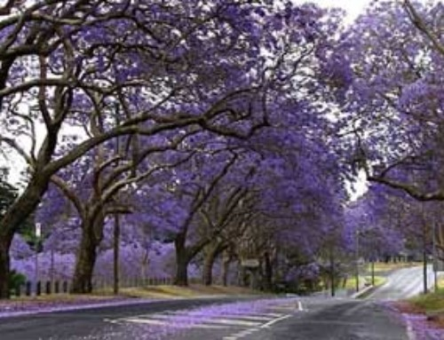 How to Grow and Care for a Jacaranda Tree