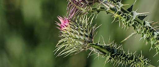 weeds-nsw